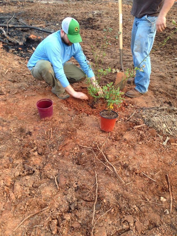 Pleasant Union Farm blueberry planting